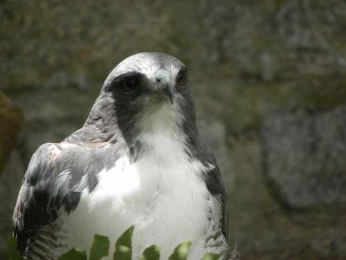 Bird Of Prey Ecology Forest Animal Eyes Nature