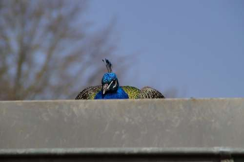 Bird Peacock Males Close Up Crouch Roof Duck