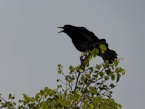 Bird Tree Black Silhouette Evening Songbird Bill