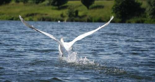 Bird Lake Łab Park Birds Pond Water Beach Swan
