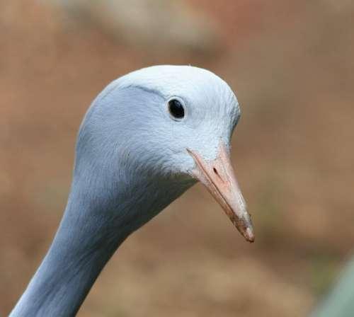 Bird Crane Blue Smooth Head Neck Face