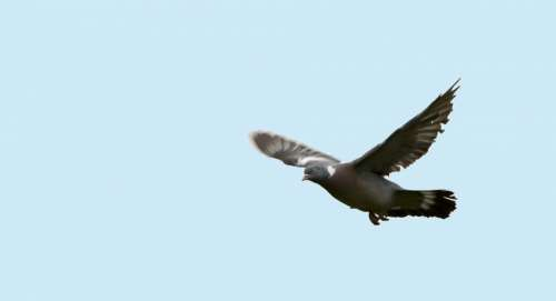 Bird Pigeon Flight Flying Wings Spread Animal