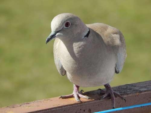 Bird Pen Spring Dove