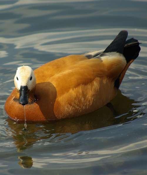 Bird Duck Water Beautiful Summer