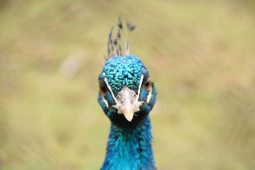 Bird Blue Flights Peacock