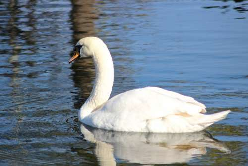 Bird Swan Loyal White Tender Beautiful Park
