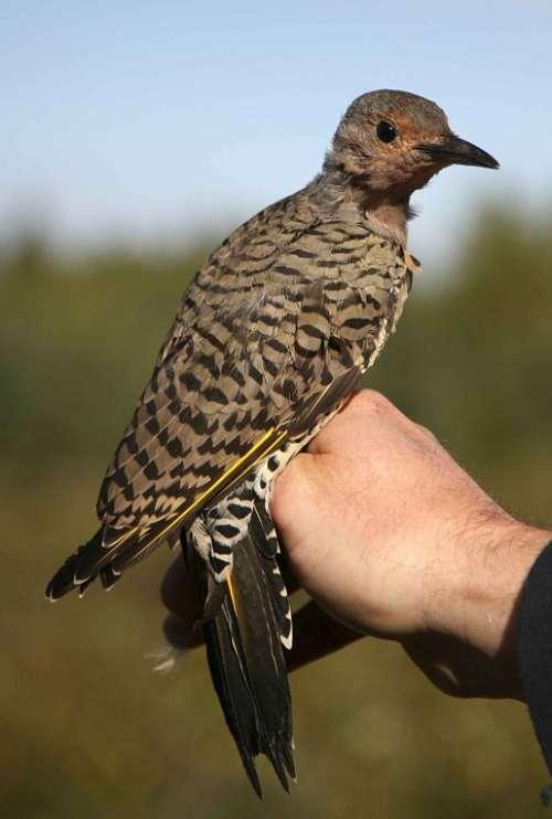 Bird Flicker Northern Birds Animals Fauna