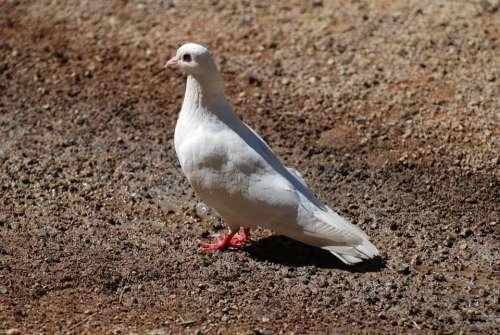Bird White Dove Pigeons Birds Animals Fauna
