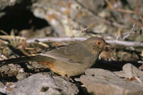 Bird California Towhee Birds Animals Fauna