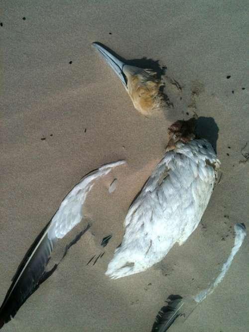 Bird Beach Sand Seagull Death