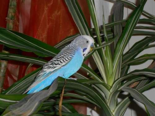 Bird Wellensttich Parakeet Blue Palm