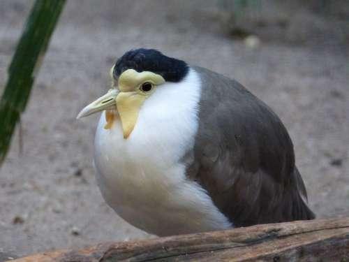 Bird Animal Nature Feather White Yellow Grey