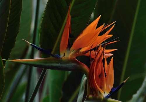 Bird Of Paradise Flower Royal Botanical Gardens