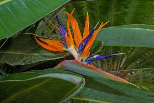 Bird Of Paradise Flower Flower Green Blossom Bloom