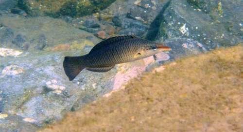 Bird Wrasse Fish Bird Fish Underwater Scuba