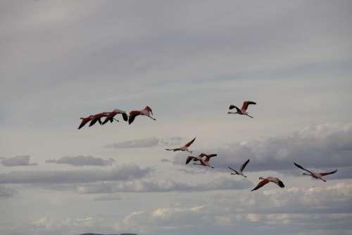 Birds Flamingo Fly Feathers
