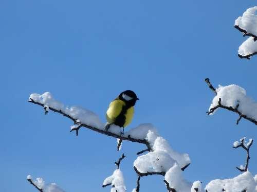 Birds Nature Winter Tit Cold Snow