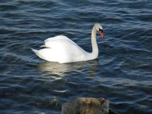Birds Swan Mute Swan Majestic Drop Of Water Bill