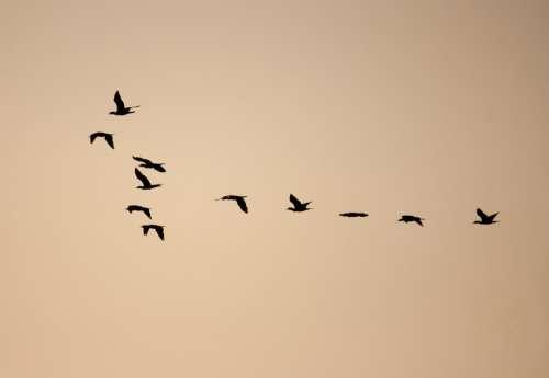 Birds Formation Flock Flocking Flying Freedom