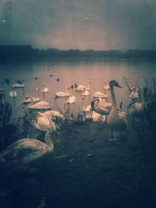 Birds Swan Nature Vintage Grunge Retro Pond