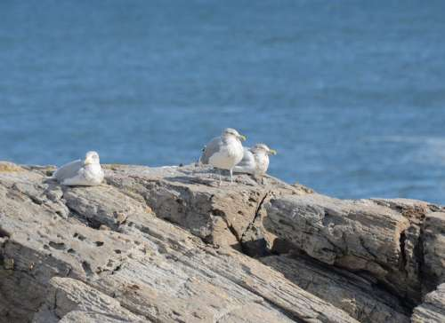 Birds Gulls Ocean Shore Beach Water Bay
