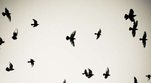 Birds Pigeons Flying Sky Freedom Air Fly Clouds