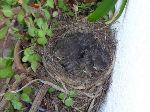 Bird'S Nest Blackbirds Young Birds Chicks Bird