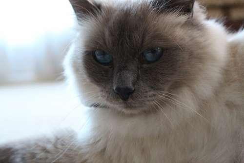 Birman Blue Eyes Cat Close-Up Portrait Feline