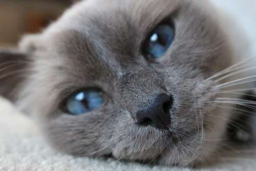 Birman Blue Eyes Cat Close-Up Portrait Feline