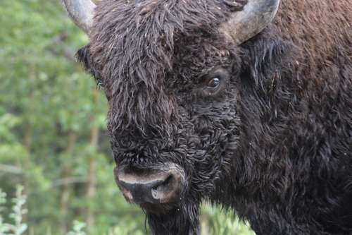 Bison Buffalo Cattle Animal