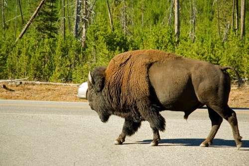 Bison Animal Wildlife Landscape Nature Yellowstone