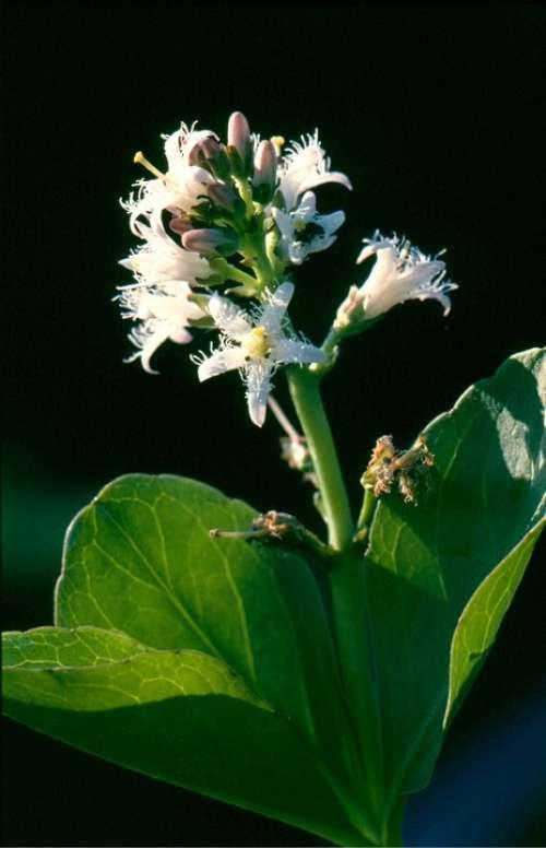 Bitter Clover Flower Plant