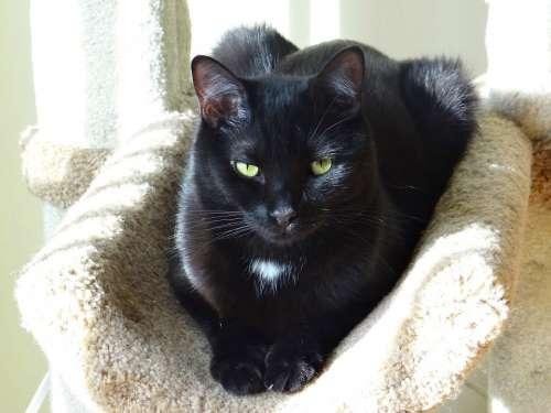 Black Domestic Short Hair Cat Animal Light Effects