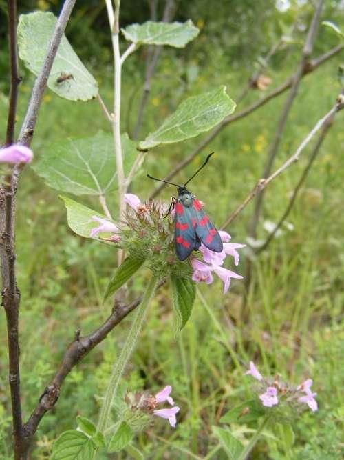 Black Burnet Butterfly Dark Filipendulae Red Six
