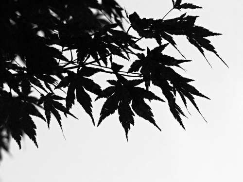 Black And White Foliage Branch Chinese Maple