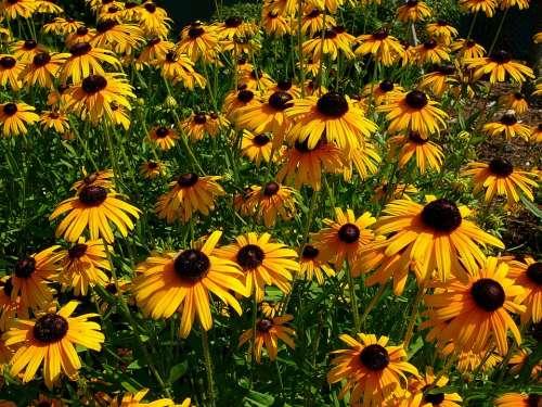 Black Eyed Susan Flower Flowers Garden Gardening