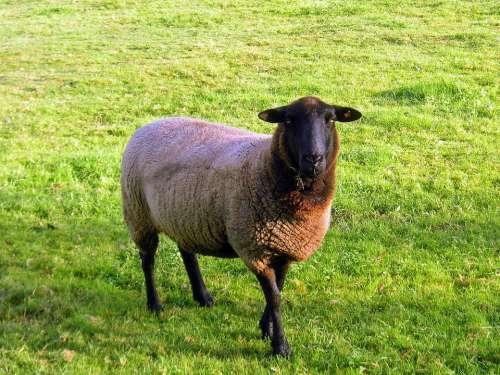 Black Face Sheep Sheep Animal Farm Farm Animals