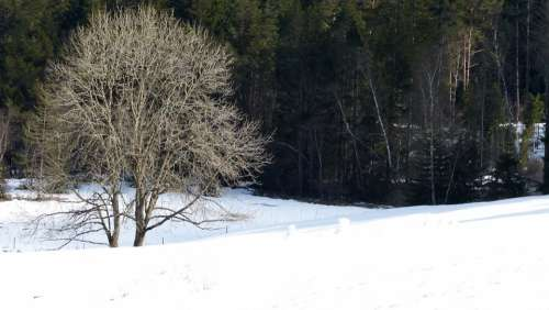 Black Forest Forest Winter Snow Tree Nature