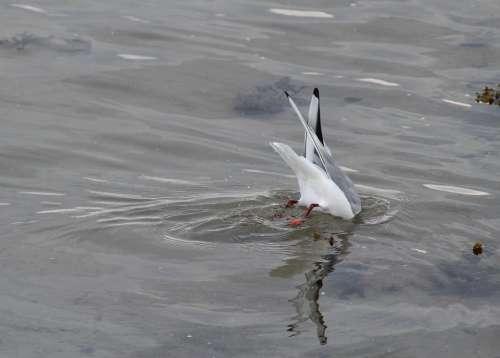 Black Headed Gull Chroicocephalus Ridibundus Birds