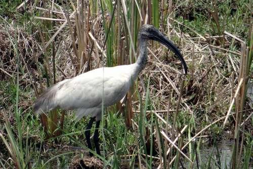Black-Headed Ibis Oriental White Ibis