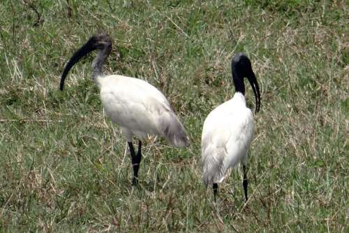 Black-Headed Ibis Oriental White Ibis
