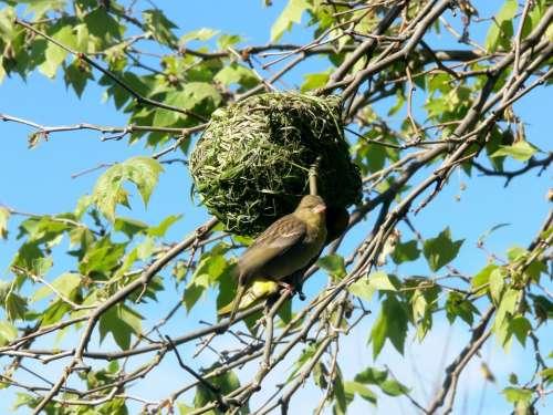 Black Masked Weaver Bird Nest Grass Clever