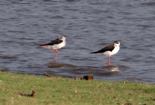 Black-Winged Stilt Common Stilt Pied Stilt