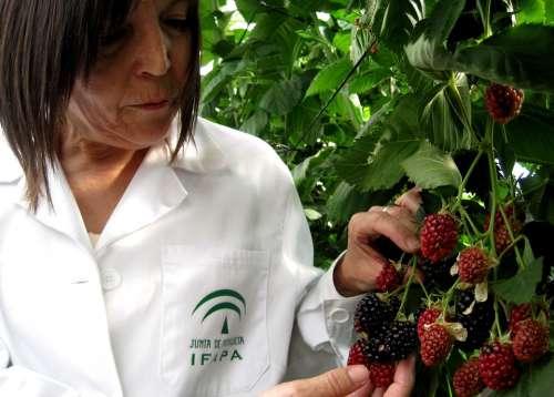 Blackberries Fruit Mora Wild