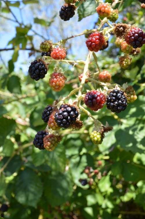 Blackberries Food Fruit Wild