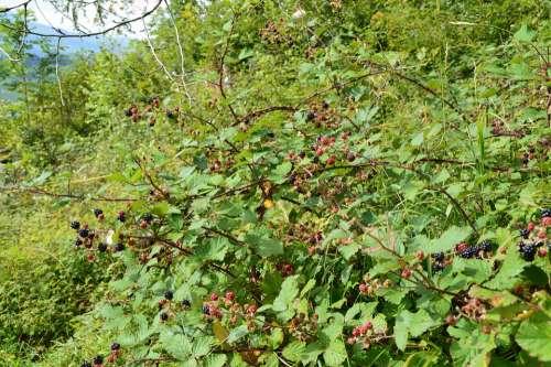 Blackberries Forest Nature
