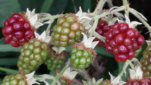 Blackberries Fruit Harvest Fruits Berries