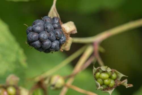 Blackberry Fruit Vegetable Food Nature Summer