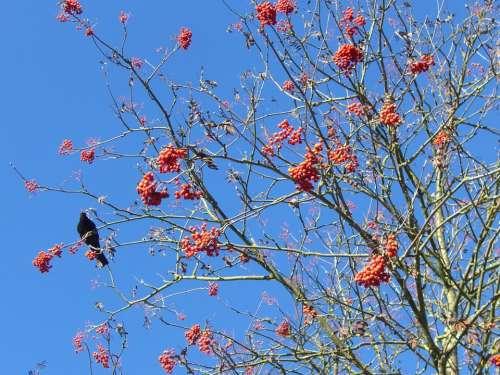 Blackbird Voghelbeerbaum Mountain Ash Sky Blue