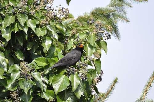 Blackbird Bird Eat